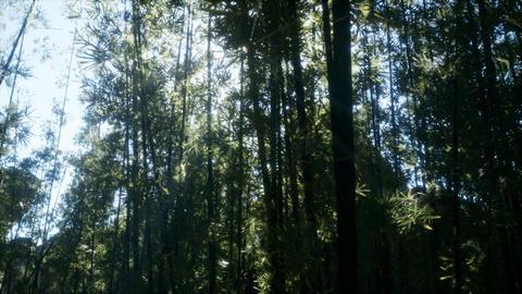 Windy Tranquil Arashiyama Bamboo Grove Footage