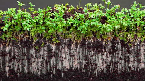 plants grow up in fertile soil on grey background timelapse Live Action