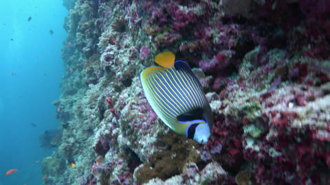 Imperial angel fish. Picturesque colorful coral reef. Diving on the reefs of the Live Action