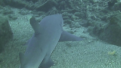 White tip reef shark resting on sea bed Footage