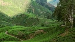 Panning video of tea plantation landscape. Malaysia Footage