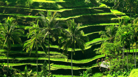 Zooming out video of amazing rice terraces fields. Indonesia Footage