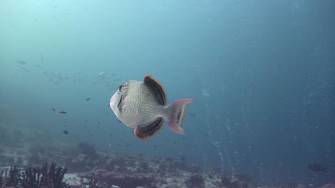 Trigger fish. Diving on the reefs of the Maldives archipelago Live Action
