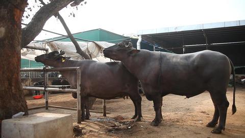 Buffalo Romance in Dairy Footage