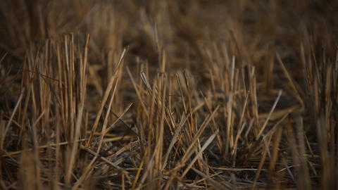 Dry Grass in the Fields Footage