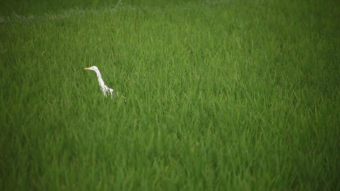 crane searching for food in the field water Footage