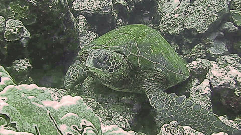 Green Sea Turtle on a coral reef Footage