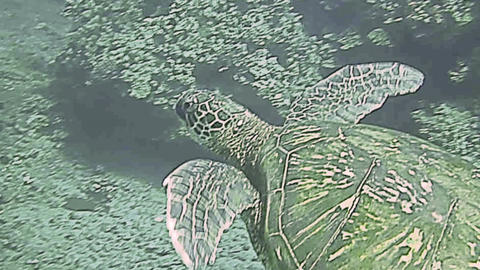 Green Sea Turtle swimming close to sea bed Footage