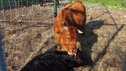 Bull cow kissing tongue. 4K Footage