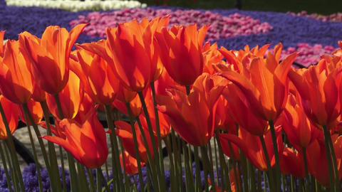 Colorful spring tulips reeling from side to side in garden Live Action