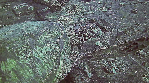Green Sea Turtle resting on a ship wreck Footage