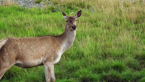 Deer in a green park. 4K Footage