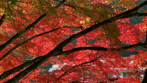 Autumn leaves Korankei Live Action