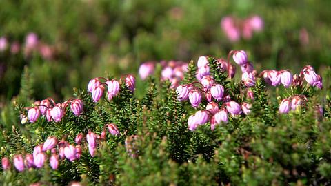 Alpine plant Footage