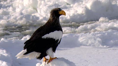 Steller's sea eagle Live Action
