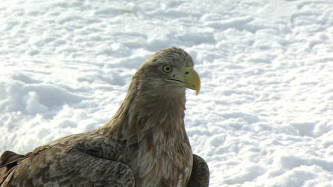 White-tailed eagle Live Action
