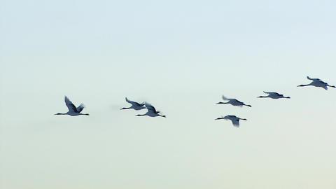 Japanese crane Live Action
