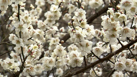Japanese apricot Footage