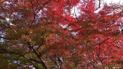 Autumn leaves Footage