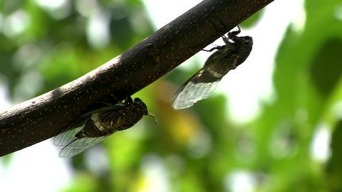 Cicada Live Action