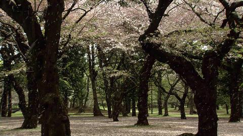 小金井公園 桜 Footage