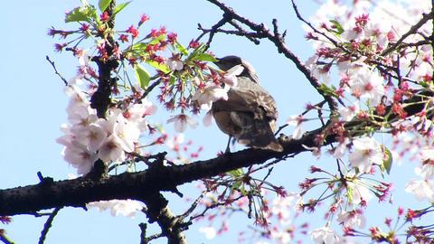 九段下 桜 Footage