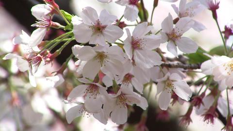 六義園 桜 Footage