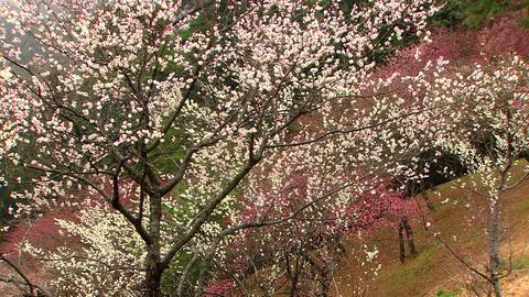 吉野梅郷 雨の梅林 Footage