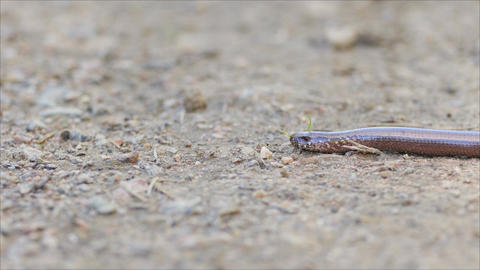 Slow Worm Slowly Moving on the Ground Footage