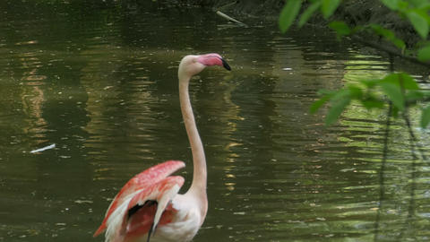 Pink flamingo cleaning feathers Footage