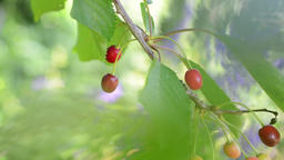 High key, light and airy footage of cherries on tree with fruit and leaves gentl Footage