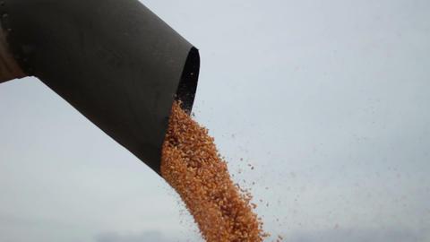 Harvest Of Corn 1
