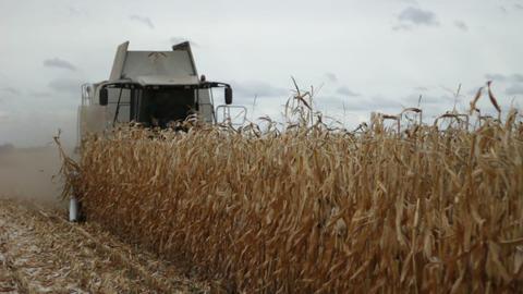 Combine harvester gathering maize corn Live Action