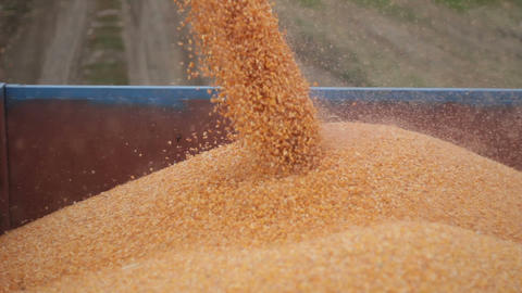 Combine harvester unloads maize corn into trailer Footage
