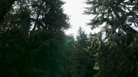 Wild pine forest with bright sunt between the trees Footage