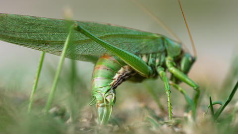 Big green locust female lays eggs Live Action