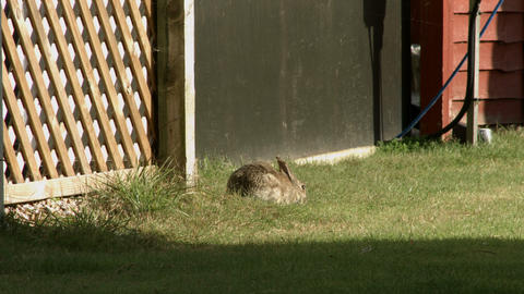 Single wild rabbit eating - then gets startled and runs away Live Action
