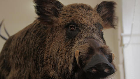A Wild Boar Scarecrow Live Action