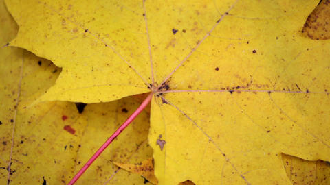 Closeup of dry yellow maple leaf. Autumn theme, single dry leafs of maple Live Action