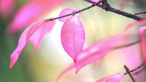 Autumn leaf branch. Autumn pink leaf branch. Nature light background. Soft focus Live Action