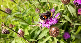 A 4k video of a native Irish honey bee on a knapweed flower collecting nectar an Footage