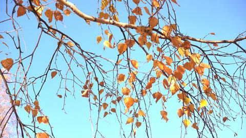 autumn birch branch against the blue sky Footage