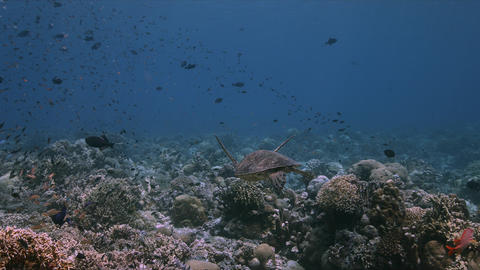 Green Sea Turtle on a coral reef 4k Live Action