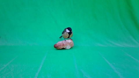 Great Tit (Parus Major) on Green Screen Chroma Key Live Action