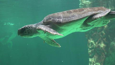 Sea Turtle Swimming Underwater Footage