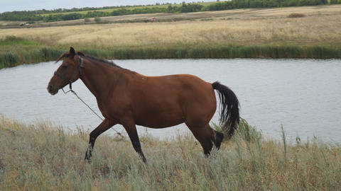 Brown horse on a leash walks in a meadow in front of the camera on the Footage
