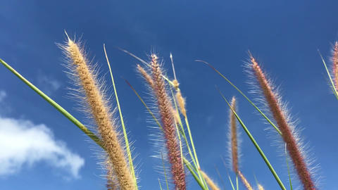 wind blows weed flowers with blue sky at background Live Action