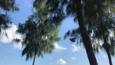 one pigeon is flying pass the camera, then two fly along, with pine trees forest Live Action