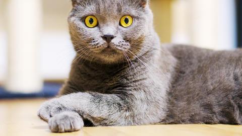Beautiful gray purebred scottish fold cat Live Action