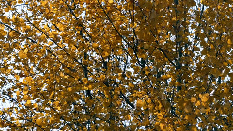 Yellow leaves on the branches of aspen tremble in the autumn wind Footage